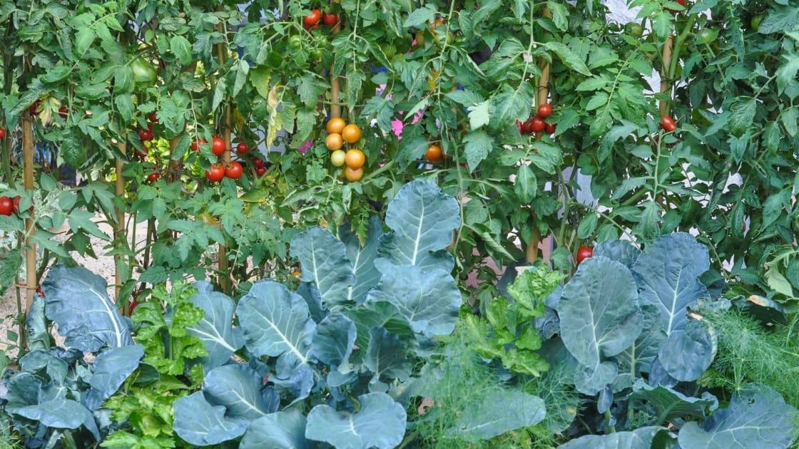 Cara Belajar Menanam Tomat